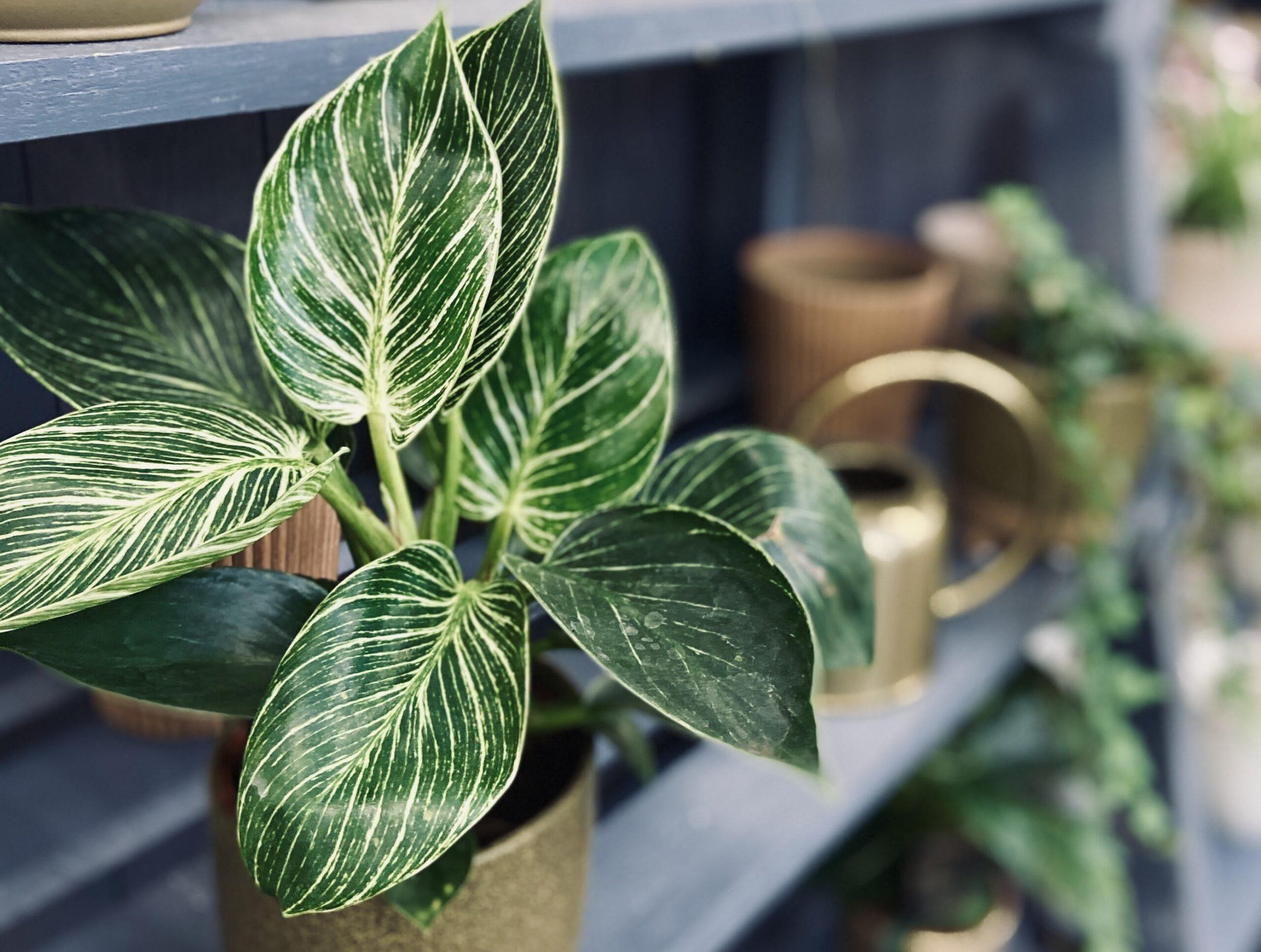 filodendron birkin - rośliny ozdobne - gatunki domowe