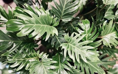 filodendron xanadu