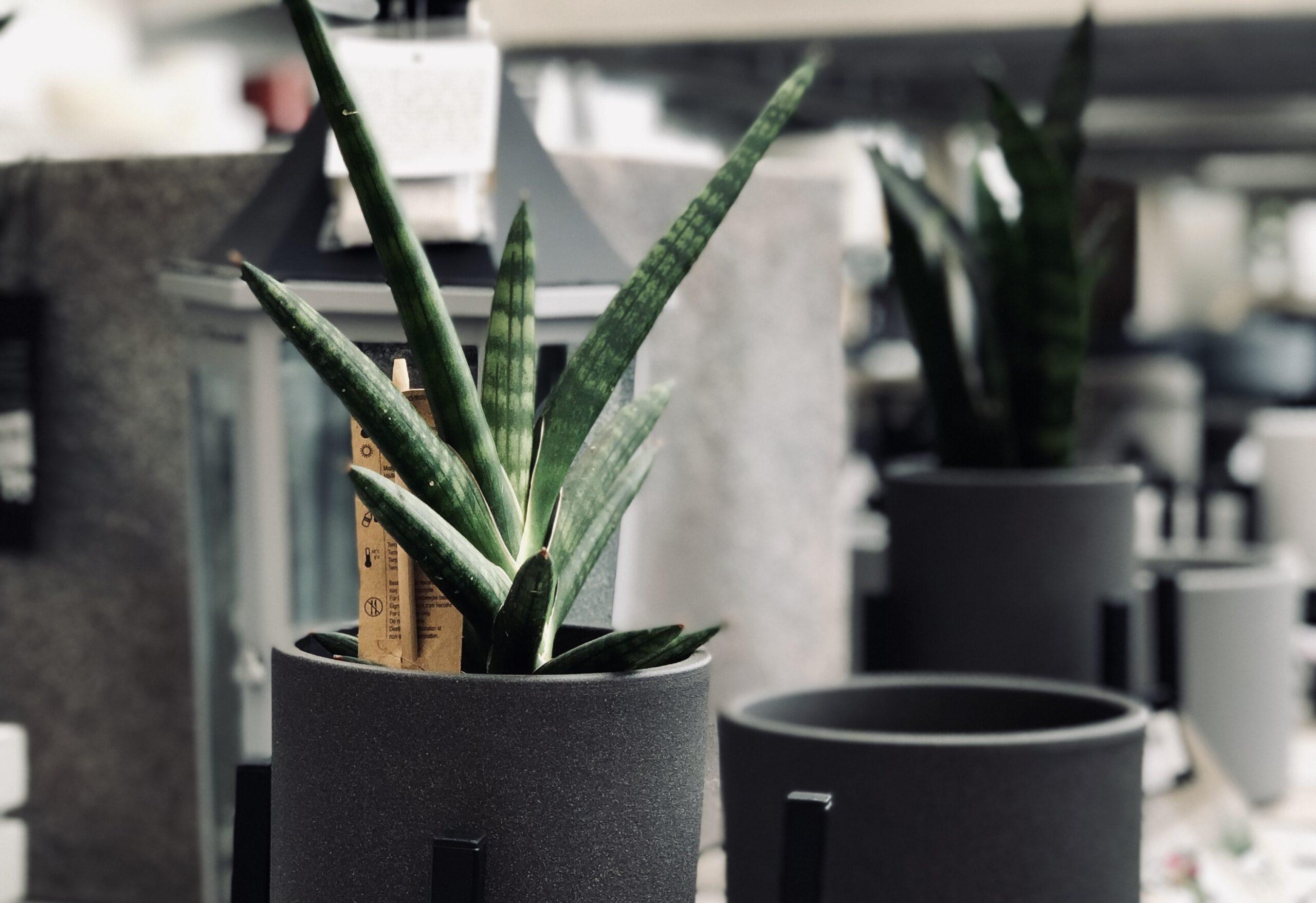 sansewieria - rośliny do biura