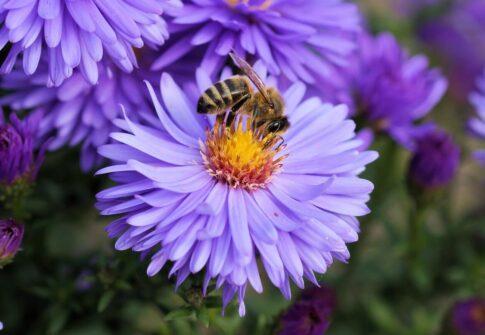 Pszczoła murarka