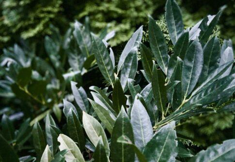 Jak sadzić i pielęgnować laurowiśnię